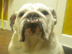 Chien Sophie - Bulldog Anglais Femelle (3 ans)