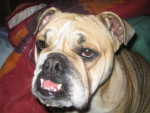 Chien bulldog anglais cheyenn - Bulldog Anglais  (0 mois)
