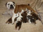 Chien Maman Bulldog Anglais et ses petits - Bulldog Anglais  (0 mois)
