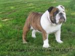 Chien Doreval Funny Face Helmut - Bouledogue Anglais - Bulldog Anglais  (0 mois)