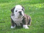 Chien Kiss - Bouledogue Anglais Elevage Doreval - Bulldog Anglais  (0 mois)
