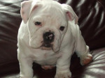 Chien Tifanie - Bouledogue Anglais Elevage Doreval - Bulldog Anglais  (0 mois)