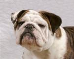 Chien Scarlett - Bouledogue Anglais Elevage Doreval - Bulldog Anglais  (0 mois)