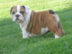 Chien India - Bouledogue Anglais Elevage Doreval - Bulldog Anglais  (0 mois)