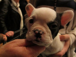 Chien Jeune chiot Bouledogue Anglais - Bulldog Anglais  (0 mois)