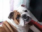 Chien Tessy - Bulldog Anglais Femelle (11 ans)