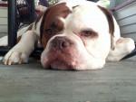 Chien Rugby - Bulldog Anglais Mâle (7 ans)