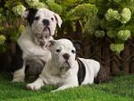 Chien  - Bulldog Anglais  (0 mois)