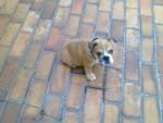 Chien kalea - Bulldog Anglais Femelle (1 an)