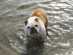 Chien allie - Bulldog Anglais Femelle (6 ans)