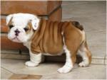 Chien Mystery - Bulldog Anglais Femelle (2 mois)