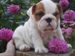 Chien  - Bulldog Anglais Mâle (0 mois)