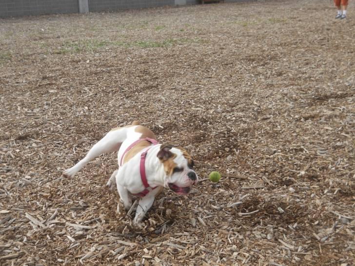 Chien Scarlet - Bulldog Anglais Femelle (2 ans)