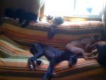 Chien ofelia - Bullmastiff Femelle (3 ans)
