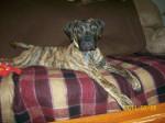 Chien Pepper - Bullmastiff Femelle (3 ans)