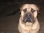 Chien Aron de la clairière du pivert - Bullmastiff  (0 mois)