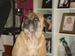 Chien cassie - Bullmastiff Femelle (9 ans)