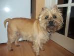 Chien Sam - Cairn Terrier Femelle (4 ans)