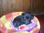 Chien Wini de chiquita - Cairn Terrier Femelle (1 mois)