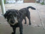 Chien Mi bonita - Cairn Terrier Femelle (8 mois)