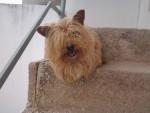 Chien Lassie - Cairn Terrier Femelle (5 ans)