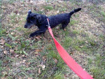 Chien Winyta te amo - Cairn Terrier Femelle (11 mois)