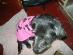 Chien Wiiinnn - Cairn Terrier Femelle (11 mois)
