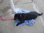 Chien Winylu - Cairn Terrier Femelle (1 an)
