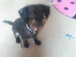 Chien Spaik - Cairn Terrier Mâle (6 mois)