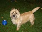 Chien URKY  Cairn Terrier - Cairn Terrier Femelle (0 mois)
