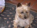 Chien Chippie - Femelle Cairn Terrier ! - Cairn Terrier  (0 mois)