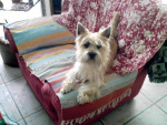 Chien cairn terrier via-maria - Cairn Terrier Femelle (0 mois)