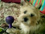 Chien cairn terrier via-maria - Cairn Terrier  ()