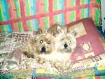 Chien cairn terrier viking - Cairn Terrier Femelle (0 mois)