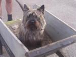 Chien cairn terrier voyou - Cairn Terrier Femelle (0 mois)