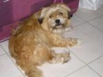 Chien alOa / cairn terrier , yorkshire - Cairn Terrier Femelle (0 mois)