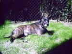 Chien staffy croisé cairn terrier  . CHICO - Cairn Terrier Femelle (0 mois)