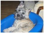 Chien Cairn Terrier - E Wally du Little Soannan - Cairn Terrier Femelle (0 mois)