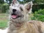 Chien CAIRN TERRIER - Cairn Terrier Femelle (0 mois)