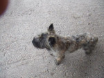 Chien CAIRN TERRIER DEIKO - Cairn Terrier Femelle (0 mois)