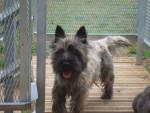 Chien DEIKO CAIRN TERRIER - Cairn Terrier Femelle (0 mois)