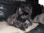 Chien Cairn Terrier  Droopy - Cairn Terrier  (0 mois)