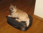Chien Ernest Cairn Terrier de 9 mois - Cairn Terrier Femelle (9 mois)