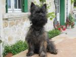 Chien Fargo Cain terrier à 6 mois - Cairn Terrier Femelle (6 mois)