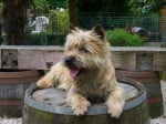 Chien Badaboum de la Tonnelle aux Orchidées - Cairn Terrier  (0 mois)