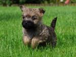 Chien Chiot Cairn terrier de la Tonnelle aux Orchidées - Cairn Terrier  (0 mois)