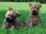Chien Chiots Cairn terriers de la Tonnelle aux Orchidées - Cairn Terrier  (0 mois)