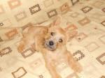 Chien Heavy cairn Terrier femelle 4 mois - Cairn Terrier  (4 mois)