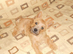 Chien Heavy cairn Terrier femelle 4 mois - Cairn Terrier Femelle (4 mois)