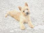 Chien Heavy femelle Cairn terrier 4 mois - Cairn Terrier Femelle (4 mois)
